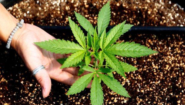 الحكومة المغربية توافق على تقنين زراعة القنب الهندي (الحشيش)
