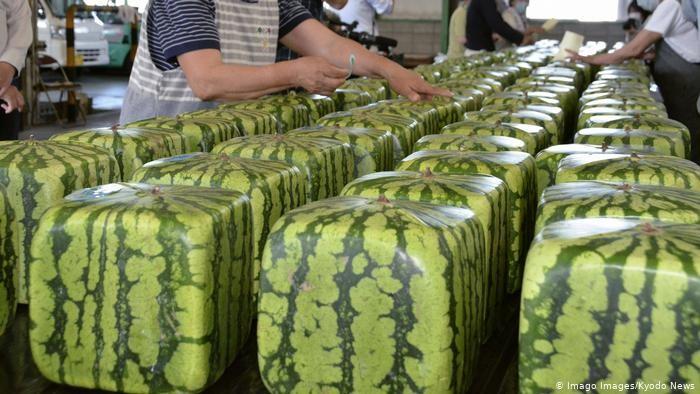 تربيع الدائرة.. اليابانيون يمنحون البطيخ اشكالا هندسية متنوعة
