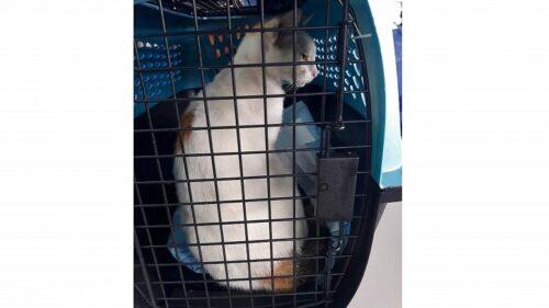 القبض على قط يهرب المخدرات إلى أحد سجون بنما