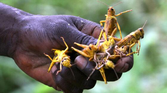 المزارعون في لواء الجيزة يشتكون من انتشار الجراد وضعف المكافحة